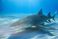 lemon_shark